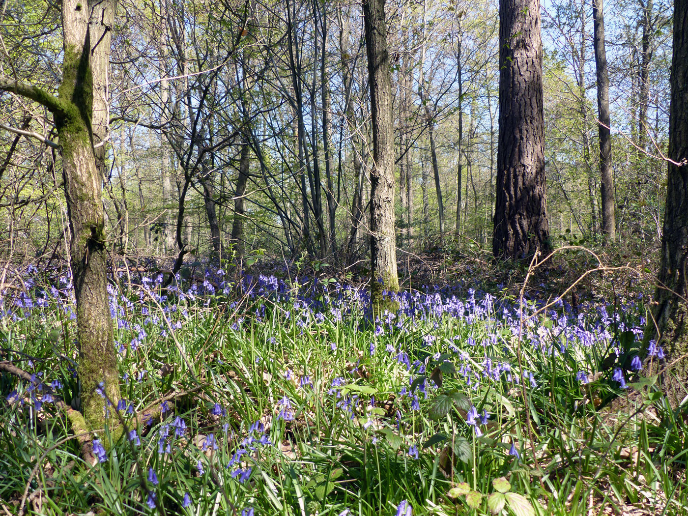 Bluebells in the trees in Black Park