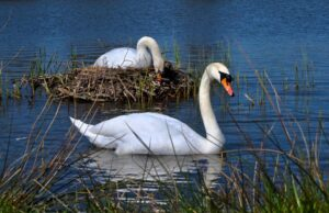 Swans at their nest